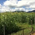 ホウキモロコシの畑
